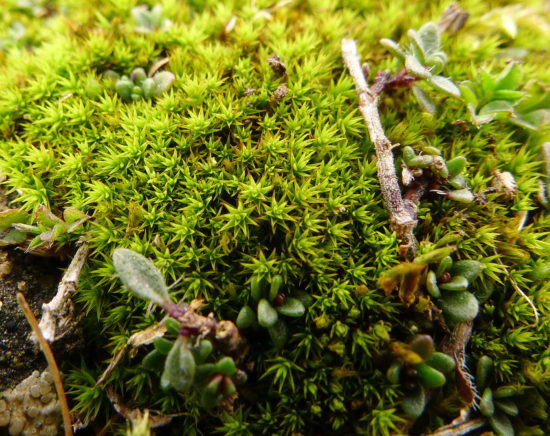 Rabbit Moss Cheilothela chloropus on Sand Point. Sharon Pilkington